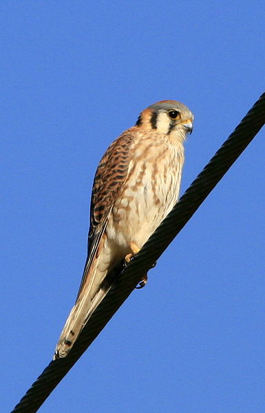 385px-American_Kestrel_at_Morro_Bay